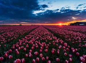 Tulip timelapse