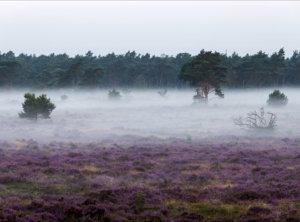 Timelapse mist bloeiende heide
