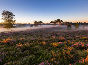Timelapse bloeiende heide mist