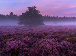 Timelapse paarse zonsopkomst Veluwe