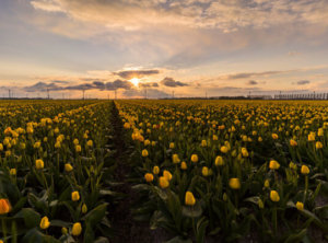 Timelapse zonsondergang tulpen