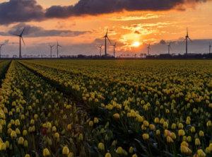 Zonsondergang tulpen en windmolens