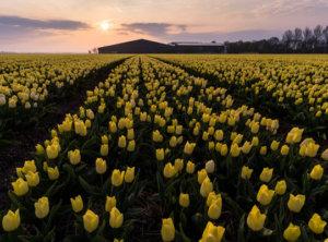 Timelapse gele tulpen
