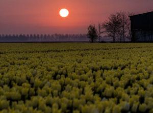 Zonsopkomst gele tulpen
