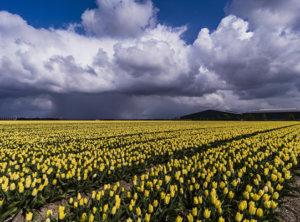 Timelapse tulpen hagelbui