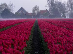Tulpen en nevel