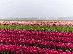 Tulpen en grijs weer