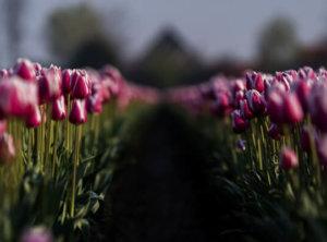 Timelapse tulpen
