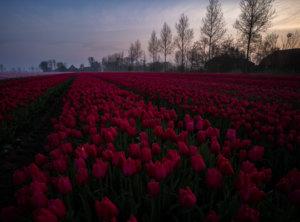 Timelapse zonsopkomst tulpenveld