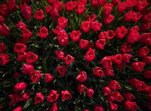 Timelapse rode tulpen
