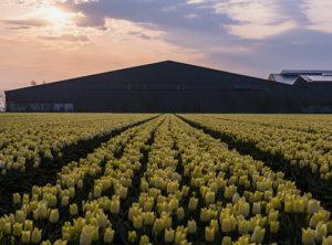 Timelapse zonsopkomst tulpen