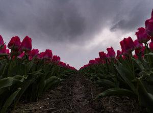 Timelapse tulpen donkere lucht