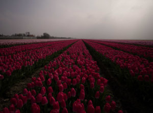 Rode tulpen timelapse
