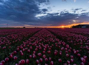 Timelapse zonsondergang tulpenveld